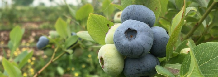 Serbia emerges as key blueberry source