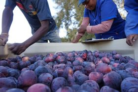 Difficult RSA stonefruit season ends