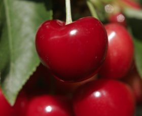AgroFresh expands Harvista use to cherries