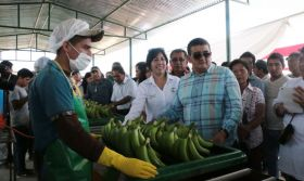 Olmos yields first organic banana harvest