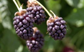 Boysenberry breakthrough in asthma research