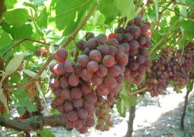 Egyptian grapes gain access to China
