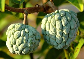 Peruvian custard apples reach new markets