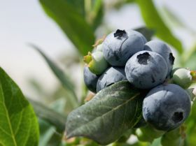 Blueberry conflict concerns Hortgro