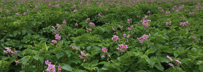 Stopping the rot in seed potatoes