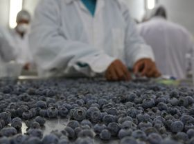 Peruvian blueberries take off for China