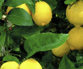 More Turkish lemon shipments intercepted
