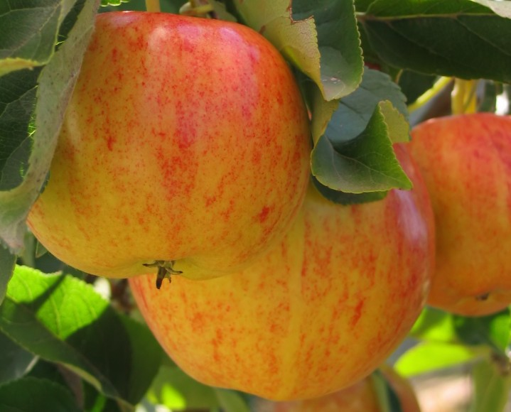 UAE Eyes European Apple Production