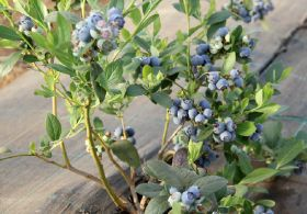 Moroccan berries on UK mission