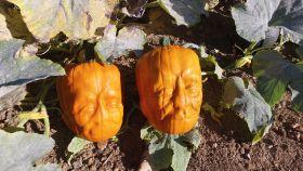 Grower trials Halloween 'pumpkinsteins'