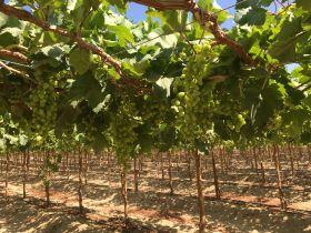 T&G Global harvests first Peruvian grape crop