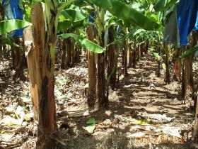 GM banana trial returns to NT