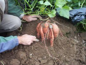 UK grows sweet potato production