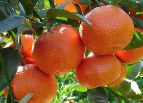 RSA breaks soft citrus record
