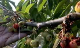 Rain and hail hits early LatAm cherries