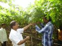 Record year for Indian grapes