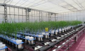 Accelerated study offers insights into crop tolerance