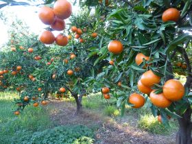 Mandarins lead Peru's citrus export charge