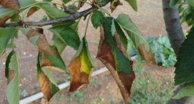 Xylella fastidiosa found on Spanish cherry trees