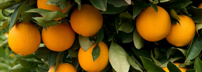 Industry pilot to trace Victorian citrus exports