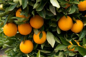 Price is right for Australian citrus