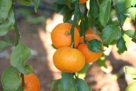 Belabela satsuma returns to the UK