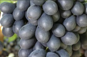 CPF to expand table grape offer