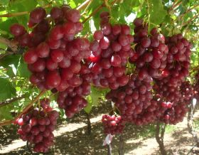 Grape exports break 65m cartons