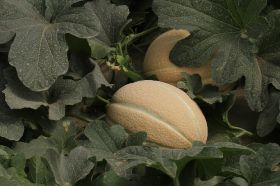 Variety is key for Israeli melons