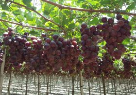 Oppy celebrates Peruvian grapes