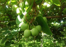 Giumarra sells NZ kiwiberries