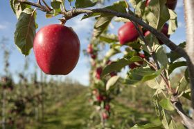 "16m apples ""left to rot"" due to worker shortages"
