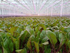 Waitrose 'first' to launch UK-grown salad bag