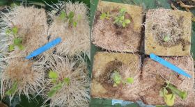 Carbon Gold shines in tomato root mat disease trial