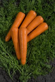 Promising results from new carrot trials