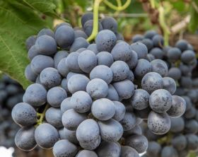 New Chilean grape variety takes off