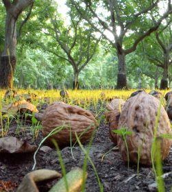 Cali walnut campaign returns after 20-year hiatus