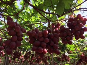 Fewer early season grapes from Peru