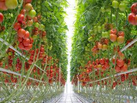 Bayer opens tomato centres