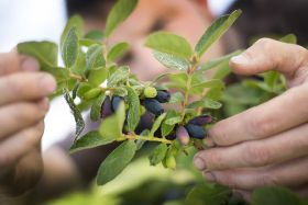 Honeyberries: Are they the fifth berry?