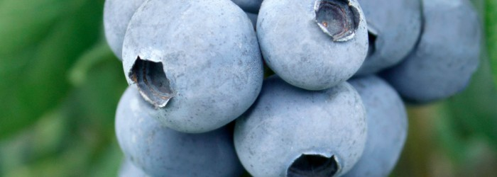 Global Plant Genetics ties up blueberry deal