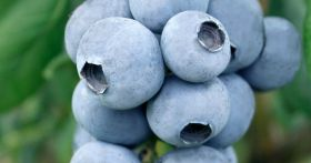 Eating blueberries 'improves reaction times'