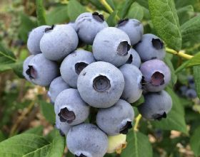 Naturipe reports on blueberry growth