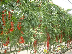 Spanish tomato woes highlighted in new study