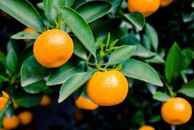 Chile kicks off 2017 citrus campaign