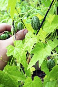 Waitrose launches GYO cucamelons