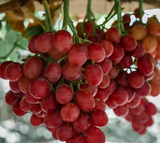 Giumarra kicks off Mexican grape season