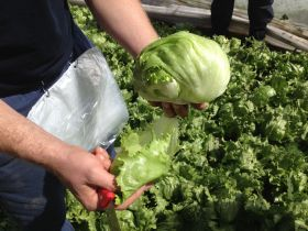 New salad washing method shows positive results