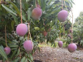 Ecuador dips toe into Chinese mango market