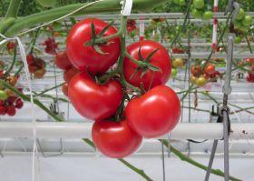 Hazera opens tomato demo